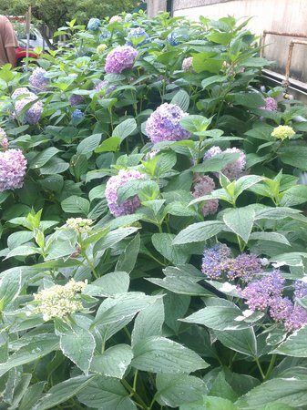 Brickers Ponessa Pizza & Restaurant: Beautiful hydrangeas by the parking lot out back.