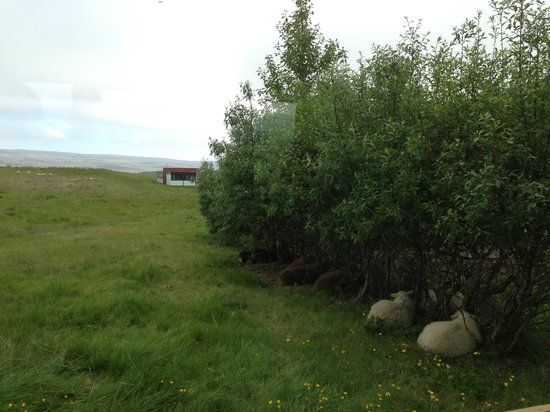 Highland Hotel : The sheep.  Our early morning call.
