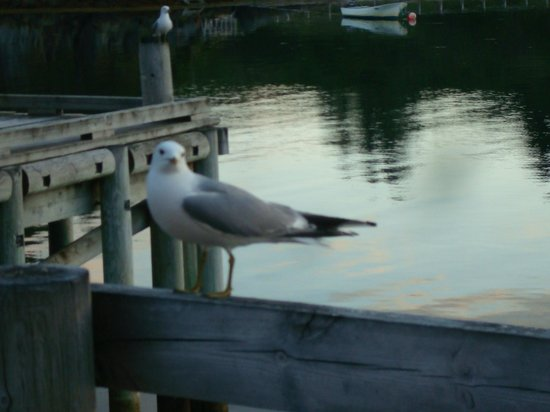 Nyvagar Rorbuhotel: My friend the seagull waiting for a cookie, right outside our room