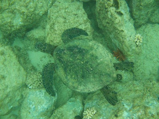 Kahe Point Beach Park: Sea turtle