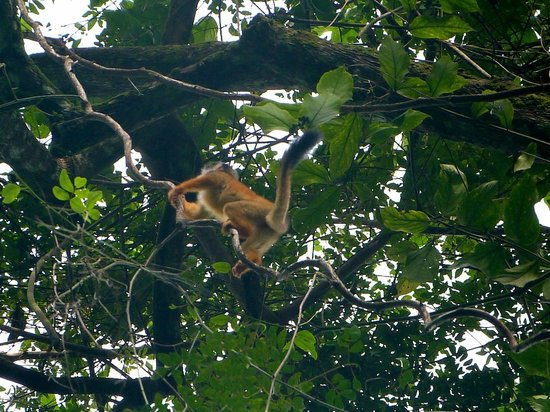 Bosque del Cabo Rainforest Lodge : Squirrel monkey