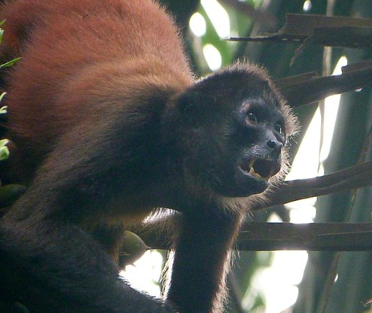Bosque del Cabo Rainforest Lodge: Spider monkey
