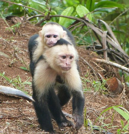 Bosque del Cabo Rainforest Lodge: White-faced capuchin with baby