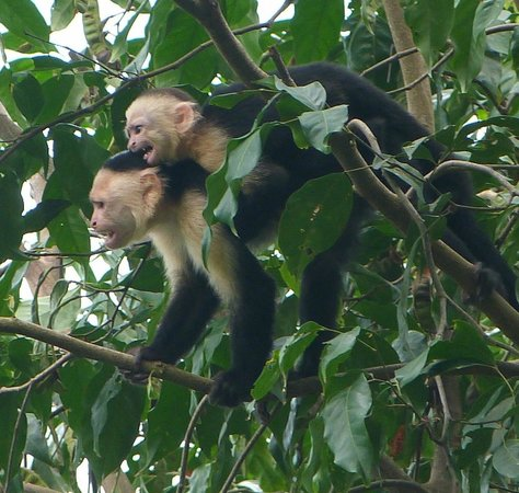 Bosque del Cabo Rainforest Lodge : White-faced capuchin and baby