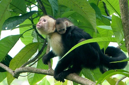 Bosque del Cabo Rainforest Lodge : White-faced capuchin and very young baby