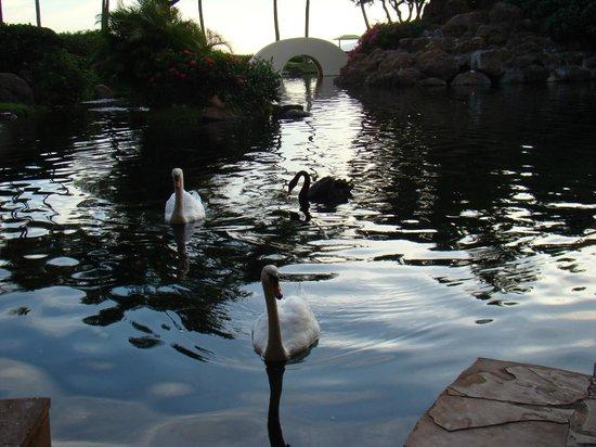 Son'z Steakhouse : Swans at Son'z