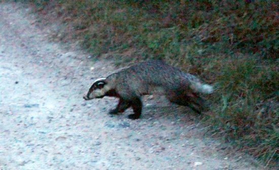 Hermitage Court Farm: It's a badger