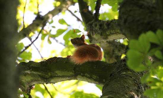 Hermitage Court Farm: Red squirrell