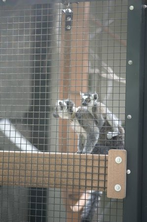 Duke Lemur Center: If you put your camera right against the first layer of mesh, it disappears in the photo