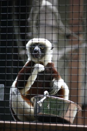 Duke Lemur Center : About as good as it gets on the Lemurs Live! tour