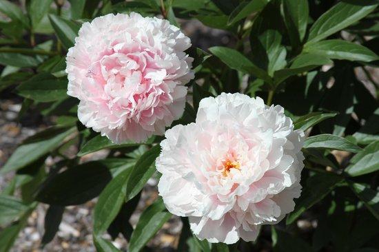 Cabin Creek Landing Bed & Breakfast : Blooming Peonies in the back yard