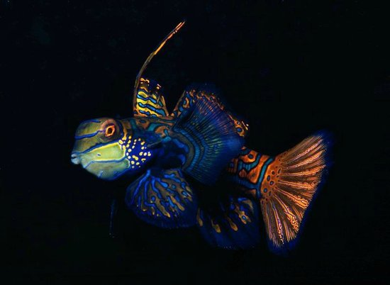 Malapascua Exotic Diving Center: Mandarin Fish