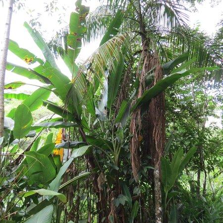 Reserva Natural Salto Morato: Bananeiras na trilha