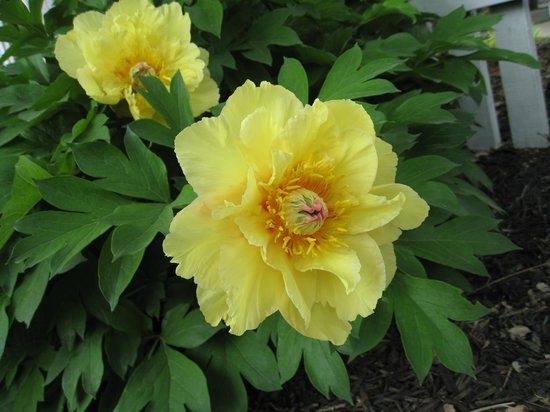 Deanna Rose Children's Farmstead : Yellow Peonies at Deanna Rose
