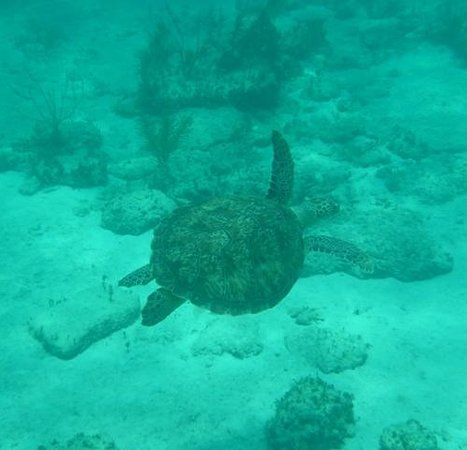 WildQuest: Turtle bei Bimini Road