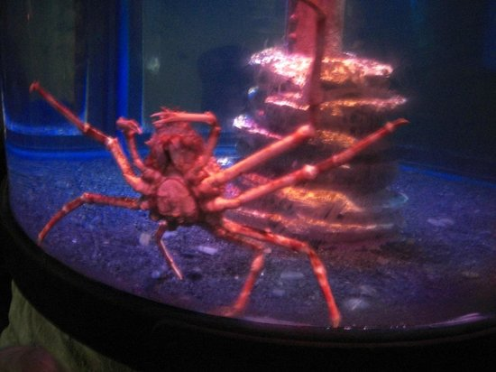 Sea Life Centre Great Yarmouth: Jap Spider Crab
