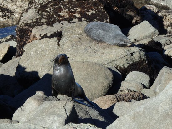 Katiki Point Lighthouse: One of the seals we sighted