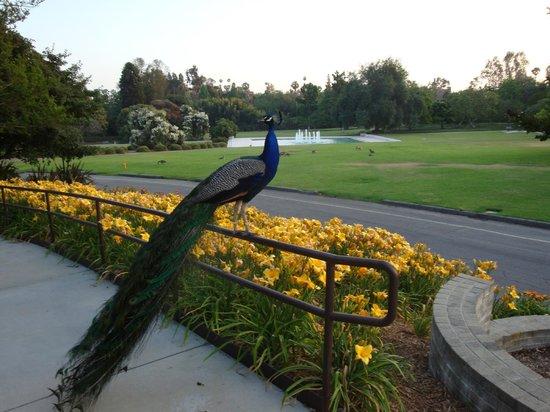 Peacock At The La County Arboretum Picture Of Los Angeles County Arboretum Botanic Garden