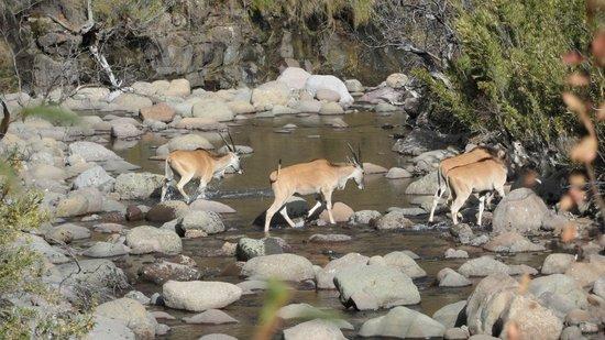 Maliba Mountain Lodge : Eland (on our walk)