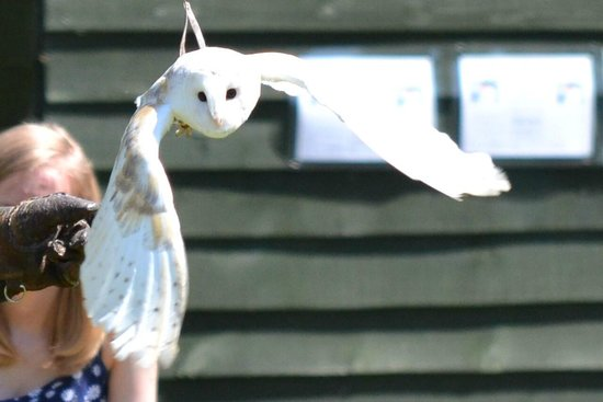 Thorp Perrow: BEAUTIFUL OWL FLYING IN THE FALCONRY DEMO