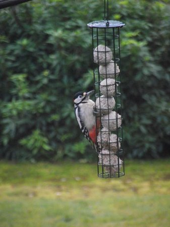 Loch Ness Highland Cottage B&B: Woodpecker on bird feeder in front of bedrooms