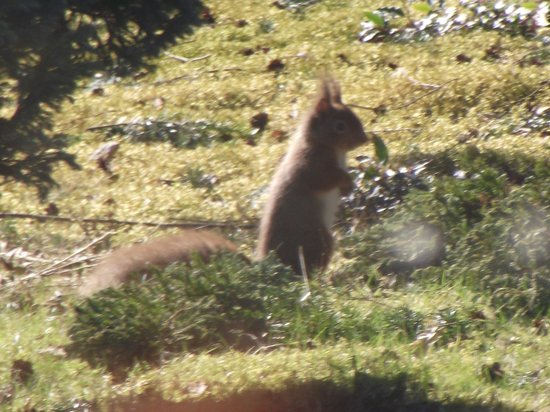 Loch Ness Highland Cottage B&B: Red squirrel in our front garden