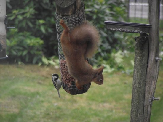 Loch Ness Highland Cottage B&B: Red squirrel with Coal Tit