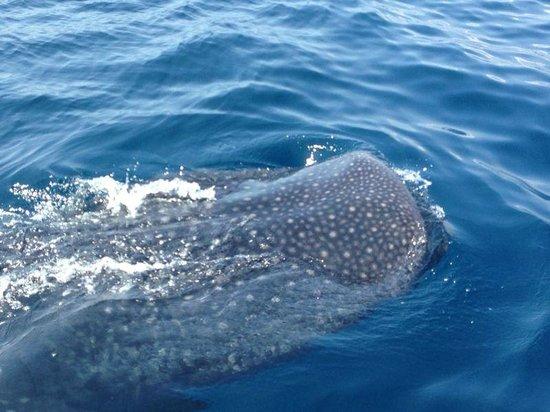 EcoColors Tours : Tiburón ballena