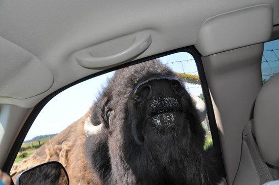 Olympic Game Farm: This poor bison was trying to get his nose into our car for food