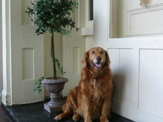 1851 Historic Maple Hill Manor Bed & Breakfast: One of the friendly golden retrievers