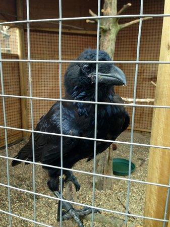 Hawks on Walks: Cheeky raven