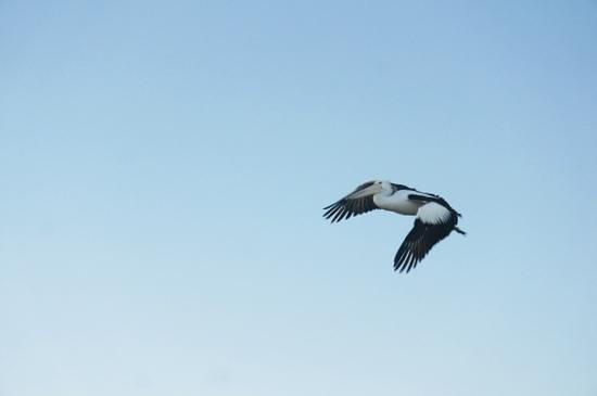 Pelican Feeding: Pelican in flight