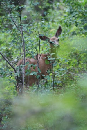 A Teton Tree House: Mule deer right off the deck