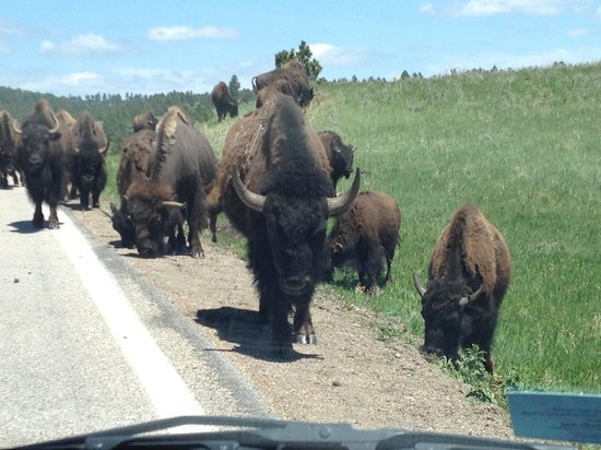 Peter Norbeck Scenic Byway: I think we're being followed