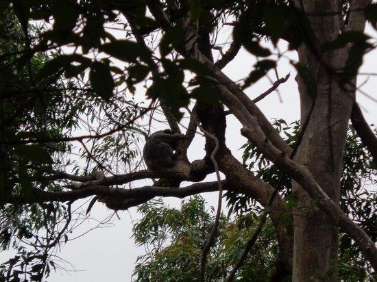 Southern Cross 4WD Tours: Stopping along the way to spot Koala