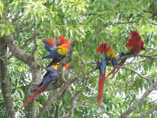 LagunaVista Villas: Always plenty of macaws