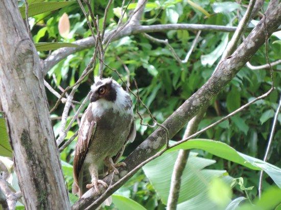 LagunaVista Villas: Spectacled Owl