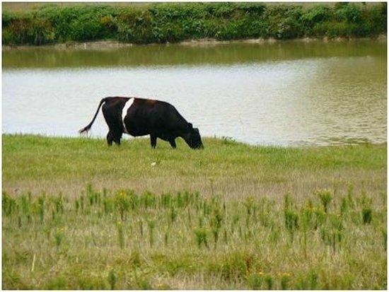 Tupelo Buffalo Park & Zoo: Oreo Cow