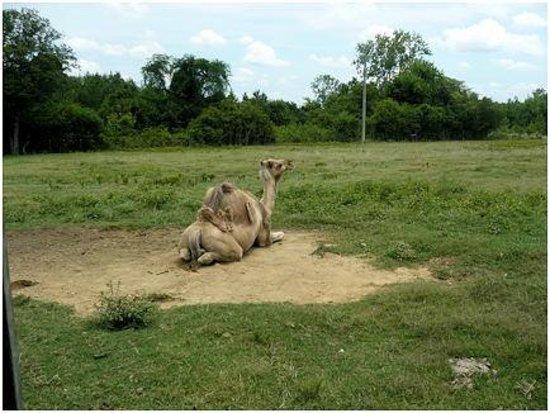 Tupelo Buffalo Park & Zoo: 'Joe' the camel