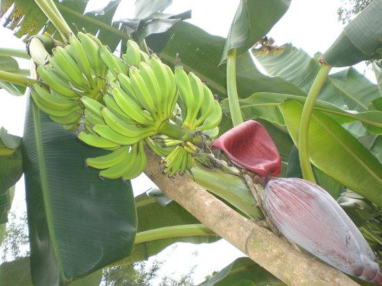 Paradise Inn: Bananenstauden ohen Ende