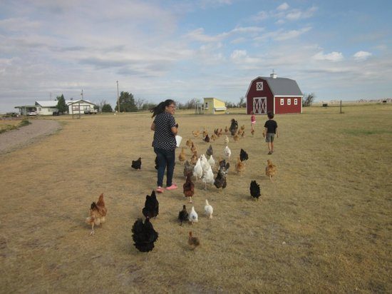 Circle View Guest Ranch: Taking scraps to feed the chickens.