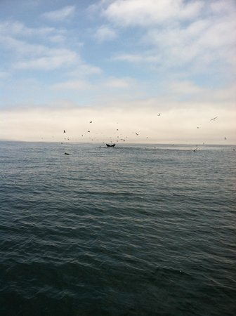 Central Coast Sailing Charters: lots of whale activity