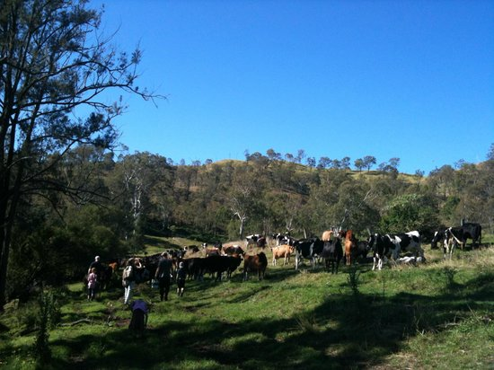 Kerry, Australia: the cows came to watch us fish!!