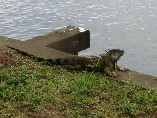 Tortuga Lodge & Gardens: One of the many iguanas on the property