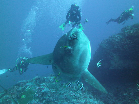 Lembongan Dive Center: Mola- Mola