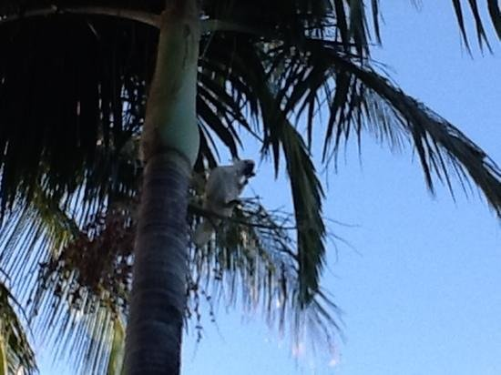 Airlie Beach Motor Lodge: one of the many cockatoos who hang out at the hotel