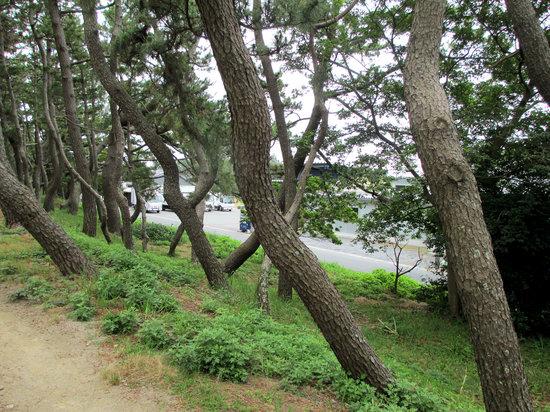 Maisaka Beach : 舞阪海岸の松林