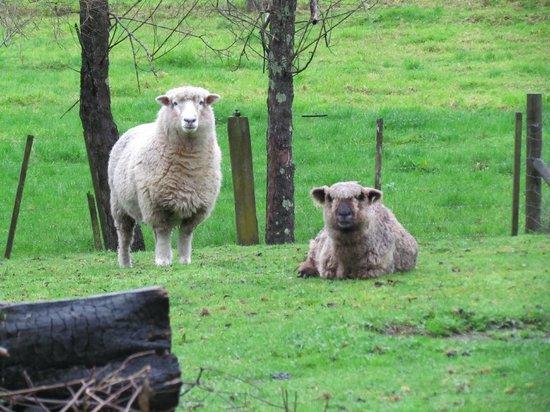 Mercury Orchard Accommodation: Pet Sheep not for the Pot
