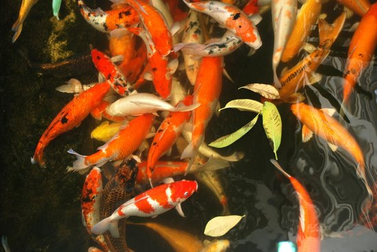 Caza V1 Serviced Apartment : Beautiful Koi pond can be seen from our balcony