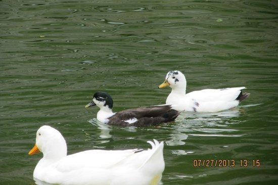 Eden Park: Ducks